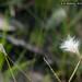 2011-07-22 TEC-3837 Andropogon cf. leucostachyus - E.P. Mallory