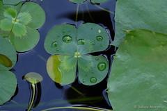 Heute ist dein Glückstag (Sockenhummel) Tags: botanischergarten botanischergartenberlin victoriahaus blatt kleeblatt glück wasser leave fuji xt10 tropfen wassertropfen