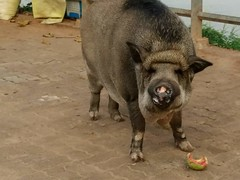 Pot Belly Pig 4 (SierraSunrise) Tags: animals esarn hog isaam mammals nongkhai pet phonphisai pig porcine potbellypig thailand