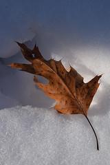 Pleasant Valley (pchgorman) Tags: pleasantvalleyconservancy danecounty wisconsin prairies savannahs february leaves dried snow