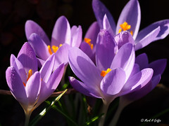Basking in the sun (mark.griffin52) Tags: olympusem5 england buckinghamshire cheddington garden macro spring flower crocus