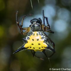 Gastacantha hasselti (GeeC) Tags: arachnida animalia araneomorphae nature trapeangreung arthropoda kohkongprovince araneidae cambodia gasteracantha gallery araneae orbweavers spiders truespiders gasteracanthinae