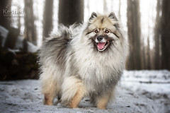 Picture of the Day (Keshet Kennels & Rescue) Tags: adoption dog ottawa ontario canada keshet large breed dogs animal animals pet pets field nature photography winter snow keeshond smile happy forest face cute laugh