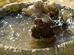 Bath time (stuartcroy) Tags: orkney island bath blackbird