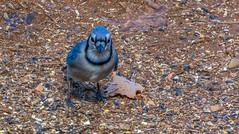 _DSC0684 (johnjmurphyiii) Tags: 06416 birds connecticut cromwell originalnef shelly tamron18400 usa wildlife winter yard johnjmurphyiii
