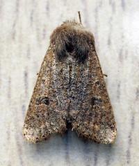 SMALL QUAKER (11birdman11) Tags: moths mammals birds britishbirds butterflies bugs