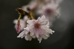 Frühling (SonjaGreiner) Tags: makro frühling blüte