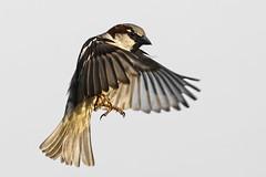 Moineau _DSC1756_DxO (jackez2010) Tags: a77mk2 a77m2 ilca77m2 sal70400g2 bif birdinflight moineau
