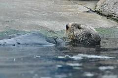 Monterey Aquarium (dw*c) Tags: monterey aquarium fish otter seaotter seaotters california america usa travel trip nikon picmonkey animal animals