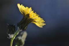 Little Christmas flower (jeangrgoire_marin) Tags: macro flower tiny delicate yellow bokeh small