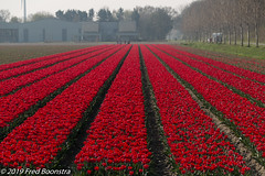 """Spring in The Netherlands"" (Fred / Canon 70D) Tags: espel the netherlands thenetherlands tulips tulipfield flowers redtulips rodetulpen sigma canon canon70d canoneos sigma18300mmf3563dcmacrooshsmc bwcirpolhtcmrcnanoxsprodigital72mmkäsemann käsemann bw"