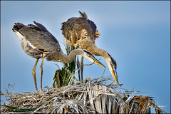 Great Blue Heron (hakoar) Tags: portrait focused neck big balance bill fledge offspring brothers fluffy feathers bird nest teenage greatblueheron yellow tall pattern beak animal curious large looking wader marsh ardeaherodias eye wing wetland florida siblings standing blue colorful northamerica grey staring dusk nature heron wildlife plumage fauna teen white crest