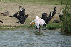 Yellowbilled Stork (pbr42) Tags: africa uganda queenelizabethnationalpark nationalpark hdr water lake crater bird h2o kazinga kazingachannel animal nature stork yellowbilledstork