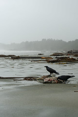 A Ravens Feast (imImaged) Tags: tofino british columbia canada pacific northwest ocean long beach water storm season winter trees sand seal corpse animal wildlife bird crow raven corvid decay nature