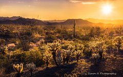 Glowing Teddy Bears (Simon__X) Tags: tree cactus desert arizona sunset sunrise sky