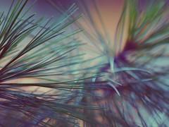Pine Needles (Dreaming Diva) Tags: needles blue purple summer orange yellow