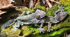 Pair of leaf-tailed geckos @ Madagascar (SuzieAndJim) Tags: africa nature leaftailed lizard gecko madagascar suzieandjim