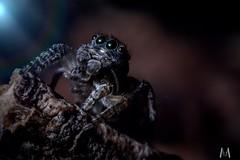 Maratus volans as art (SuzieAndJim) Tags: suzieandjim nature spider peacockjumpingspider jumpingspider volans maratus maratusvolans