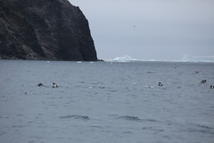 IMG_3436 (y.awanohara) Tags: adelie adeliepenguins penguins antarctica antarcticpeninsula wildlife january2019 icebergs ice icefloes