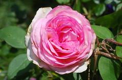 Gleich früh, wenn sich entzündet (amras_de) Tags: rose rosen ruža rosa ruže rozo roos arrosa ruusut rós rózsa rože rozes rozen roser róza trandafir vrtnica rossläktet gül blüte blume flor cvijet kvet blomst flower floro õis lore kukka fleur bláth virág blóm fiore flos žiedas zieds bloem blome kwiat floare ciuri flouer cvet blomma çiçek