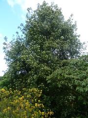 20130528_LismoreCastle_DrimysWinteri_Cutler_P1470647 (wlcutler) Tags: winteraceae drimys drimyswinteri