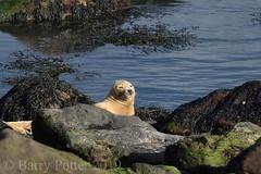 Seal at Ravenscar (Barry Potter (EdenMedia)) Tags: barrypotter edenmedia nikon d7200 ravenscar seals