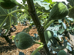Alf 0001 - 0475 (Alf Ribeiro) Tags: agribusiness agriculture brazil rural agricultural america crop cut farm farmland field fig figs food fresh fruit green immaturity leaves nature outdoor plant production raw south tree