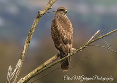 Buzzard @ Inch Wildfowl Reserve (chrismcg40) Tags: birdofprey buzzard common ireland wildlife nature countryside woods woodland donegal countydonegal canon7dmark2 canon100400lis canon amatuer irishwildlife canoneos