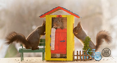 Red squirrels standing with a outhouse (Geert Weggen) Tags: squirrel red animal backgrounds bright cheerful close color concepts conservation culinary cute damage day earth environment environmental equipment love photo model toilet greattit toiletpaper wc outhouse bicycle bispgården jämtland sweden geert weggen hardeko ragunda