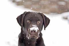 snow dog ( explore ) (G_Anderson) Tags: chocolate lab snow