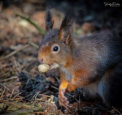 🇬🇧 Red squirrel eating (Explored 05/03/19) #156 (vickyouten) Tags: redsquirrel redsquirreleating nature naturephotography britishwildlife wildlife wildlifephotography nikon nikond7200 nikonphotography nikkor55300mm formbybeach formby liverpool uk vickyouten