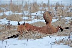 Hey Babe, Take A Walk On The Wild Side (marylee.agnew) Tags: red fox stretch intelligence crafty look encounter nature close wildlife sly canine outdoor winter snow grass pose