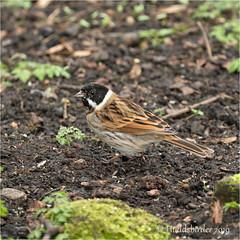 Reed Bunting ♂ (Huddsbirder) Tags: huddsbirder reedbunting oldmoor rspb old moor fe70300mm sony a6500
