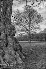 Im Englischen Garten, München (Janos Kertesz) Tags: baum rinde englischergarten münchen englishgarden munich bayern bavaria tree