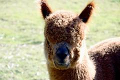 Alpaca Portrait 817 (Donna's View) Tags: nikon d3300 alpaca alpacaportrait closeup animal vicugnapacos farm