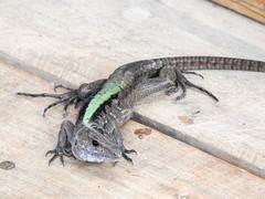 Fauna: Whiptail Lizard (Kentropyx pelviceps) (yago1.com) Tags: wildlife nature ecuador wildlifephotography zamorachinchipe lizard kentropyxpelviceps kentropyx valledelasluciérnagas amazon basin permatree