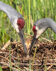 Pair of Sandhill Cranes with Day Old Colt (dbadair) Tags: outdoor nature wildlife 7dm2 ef100400mm canon florida bird sandhill colt chick pair