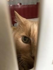 At the Vet (sjrankin) Tags: 22march2019 edited animal cat norio closeup carrier catcarrier catcage vet vetclinic kitahiroshima hokkaido japan