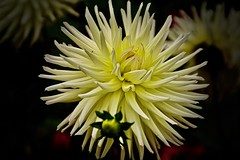 Dahlia (prokhorov.victor) Tags: цветок цветы растения флора сад природа лето макро