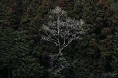 木 (atacamaki) Tags: xt2 50140 xf f28 rlmoiswr fujifilm jpeg撮って出し atacamaki japan ibaraki kasumigaura 日本 茨城 かすみがうら さんぽ day life season tree nature 病み上がり nofilter 撮って出し