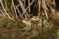 Toad love 30.03.19 (Lee Myers - aka mido2k2) Tags: amphibian toad mating toads nature wild wildlife pond springwatch countryfile rural pondlife common water pool sun nikon d3 105mm sigma f28