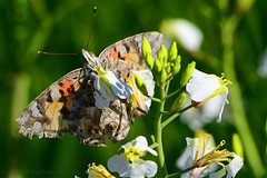 Painted-Lady_02 (DonBantumPhotography.com) Tags: wildlife nature bugs insects butterflies paintedlady donbantumcom donbantumphotographycom