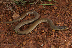 Northern Hooded Scaly-foot (Pygopus steelscotti) (Jordan Mulder) Tags: northern hooded scalyfoot legless lizard reptile wildlife pygopus steelscotti ropergulf
