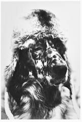 0081-7648-14-S (jimbonzo079) Tags: darko laverack english setter pet dog animal ilioupoli athens greece 2018 fd 50mm f18 lens kodak ultramax 400 1600 pushed 2 stops ultramax400 bw convert blackwhite black white slr 135 film 35mm negative analog old vintage retro home art portrait greek cap skull beret fd50mmf18 kodakultramax400 kodakultramax4001600 kodakultramax1600 pushed2stops englishsetter konicaminoltadimagescandualiv winter canona1 canon a1