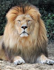 Lion au Zoo de La Palmyre (claude 22) Tags: zoo palmyre france animal animaux parc park royan zoological sauvages wild animals lion