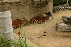 Chester Zoo Islands (155) (rs1979) Tags: chesterzoo zoo chester islands banteng