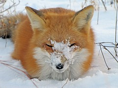 Snow Face (marylee.agnew) Tags: snow red fox vulpes face close winter outdoor cold nature sweet cute wildlife