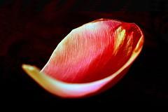 I am sailing (HansHolt) Tags: sailing iamsailing tulip petal flower red yellow rodstewart canoneos6d canonef100mmf28macrousm smileonsaturday onesinglepetal