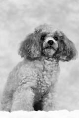 Tina-LR-DSC_2709-2 (studiofuntas) Tags: プードル トイプードル ティーカッププードル poodle toypoodle teacuppoodle モノクローム monochrome 犬 dog pet ペット ロケーション撮影 リクエスト撮影 locationphoto locationshooting