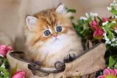 Cute Kitten Pictures (dollfacepersiankittens.com) Tags: persian kittens for sale doll face teacup cat kitten pictures photos photography felines animals pets bestcatpictures best luxury near me catsofinstagram catpictures catpics kittensofinstagram kitties kittensforsale